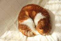 陽だまりでお昼寝するスコティッシュホールド