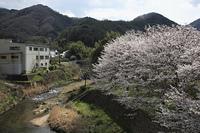 白州川の桜