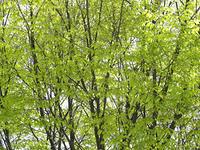 街路樹の新緑