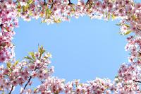 カワヅザクラの花のフレーム