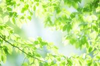 イヌシデの葉