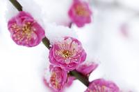 紅梅に積る雪