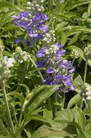 薄紫色のブルーサルビア・ストラータの花