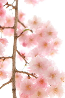 八重咲きの枝垂れ桜