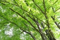 新緑のカツラの木