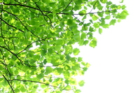 ユリノキの新緑