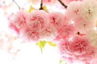 八重桜 花笠