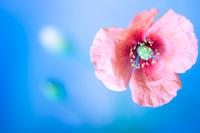 青背景にピンクのケシの花 ソフトフォーカス