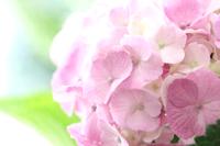 ピンクの紫陽花のアップ