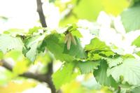 ヘーゼルナッツの花