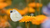 花畑のモンシロチョウ