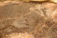 ユミユリの化石