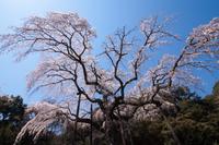 小田原長興寺のシダレザクラ