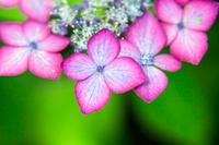 梅雨に咲く濃いピンクとブルーのガクアジサイ