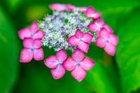 梅雨に咲く濃いピンクのガクアジサイ