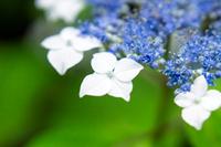梅雨に咲く白と青のガクアジサイ