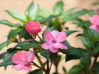 サンパチェンスの花