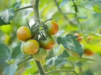 ミディトマト畑