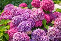 満開のピンクと紫の紫陽花の花