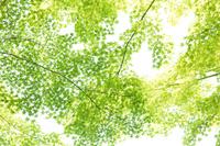 新緑のかえでの葉