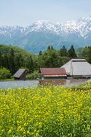 白馬村・青鬼集落の菜の花畑と残雪の北アルプ