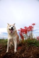 笑顔の犬と彼岸花