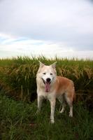 笑顔の犬と秋の田んぼ