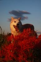 笑顔の犬と花