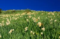 灘黒岩水仙郷 水仙の花
