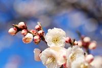早春の梅の花