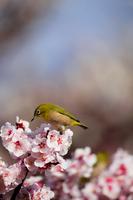 メジロと梅の花