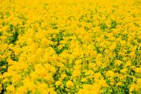 あわじ花さじき 菜の花