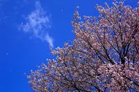 ヤマザクラと青空