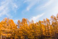 カラマツ林黄葉