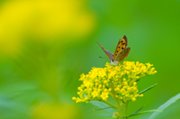 オミナエシの上のベニシジミチョウ