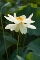 高貴で純白のハスの花