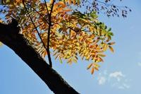 ハゼの木の紅葉