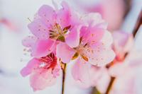 桃の花 花もも