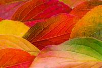紅葉した夏椿の葉