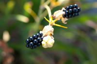 Black seeds of Leopard flower or Iris domestica