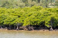 沖縄 金武町 億首川のマングローブ林