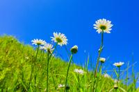 草原に咲くマーガレットと青空