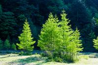 新緑のカラマツの木立