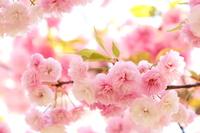 満開の八重桜(花笠)