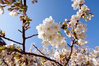 満開の大島桜
