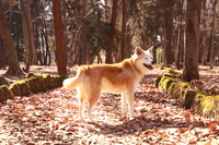 笑顔で森に佇む犬