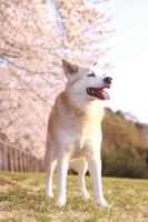満開の桜と笑顔の犬