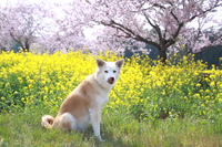 満開の桜と菜の花と舌を出した犬