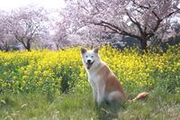満開の桜と菜の花と目を閉じて笑う犬