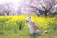 満開の桜と菜の花と笑顔の犬